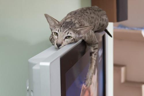 猫VSテレビ